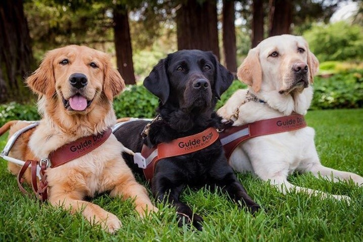 "Three dogs lying side-by-side on the grass. Each dog is wearing a harness that says ""guide dog."""