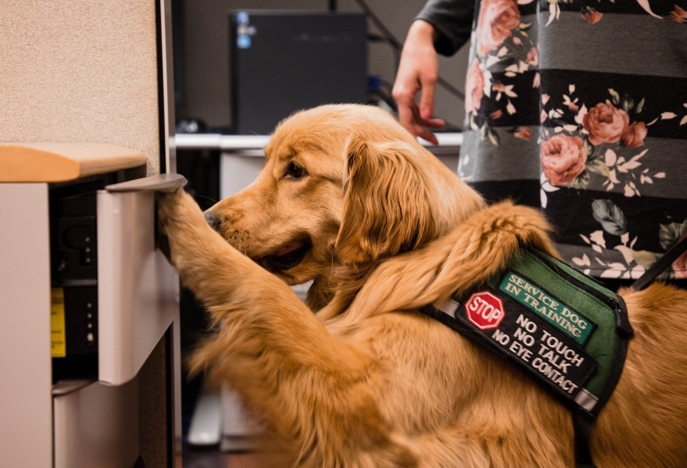 "Golden retriever using his paw to open a drawer. His vest has a stop sign and the words ""Service Dog in Training. No touch, no talk, no eye contact""."