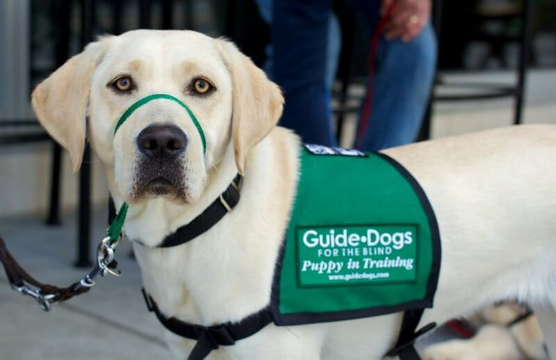 "A yellow lab with a green vest with the words ""Guide Dogs for the Blind."""